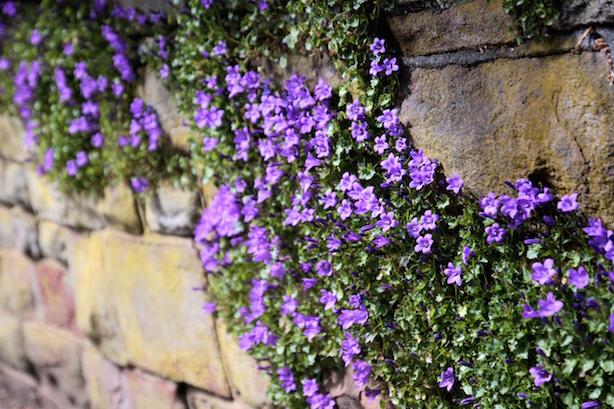 Purple-Flowers-Clifton